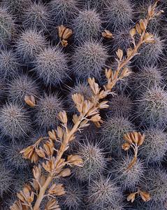 Claret Cup Cactus & Agave, Parashant National Monument, AZ