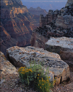 Grand Canyon National, AZ/Park North Rim, near Cape Royal. Rabbit Bush(Chrysothamnus viscidiflorus) Angel's Gate in background center. 790v aba