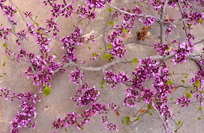 Redbud (Cercis occidentalis) growing on a slab of Supai Sandstone