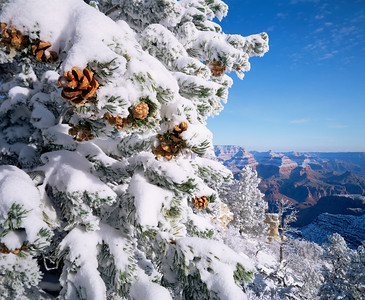 Grand Canyon National, AZ/Park, South rim, Grandview Point. Snow covered Pinyon pine (Pinus edulus) with West Rim in the background. 1292h6