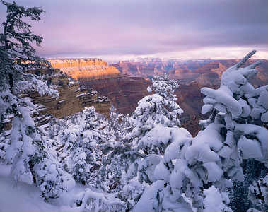 Grand Canyon National Pk., AZ/South Rim, East Rim Drive. Canyon wall near Shoshone Point glowing at sunrise with snow covered pinyon pines (Pinus edulis) in foreground.194