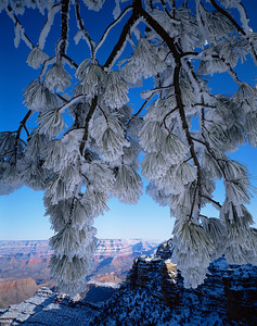 Grand Canyon National, AZ/Park, South rim, East rim drive. Snow covered Ponderosa pine (Pinus ponderosa) after winter storm, North rim background 1292v5