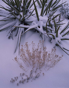 Grand Canyon National, AZ/Park, South rim, Moran Point. Snow covered snakeweed(Gutierrezia sarothrae) and yucca (Yucca baccata). 1292v7