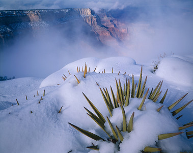 010301-0629-00   IN           Grand Canyon National, AZ/Park, Yuccas (Yucca baccata) poking through new snow on West Rim after storm. 293h9                                                                                                                                                     4x5                Orig-A