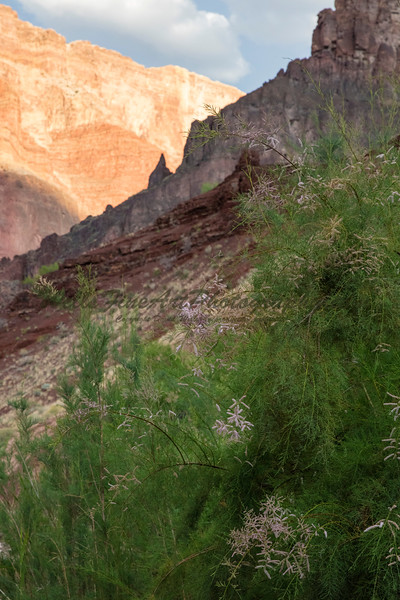 Tamarisk & view towards river from up Lava Chuar creek.
