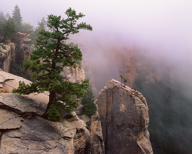 Grand Canyon National Pk., AZ/North Rim, North Kaibab Trail, Pinyon pine (Pinus edulis) and Utah Juniper (Juniperus osteosperma) Kaibab Limestone spires in morning fog.1090h    aj