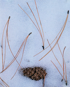 Grand Canyon National, AZ/Park. Ponderosa (Pinus ponderosa) pine cone and needles on snow. South rim. 194v8