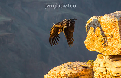 California Condor #87, Grand Canyon