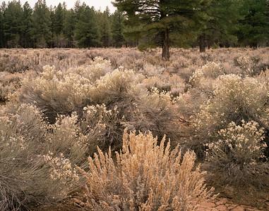 Plateau, Sagebrush (Artemisia tridentata) center, & Rubber Rabbitbrush (Crysothamnus nauseosus) with Ponderosa Pines (Pinus ponderosa).491h   aea