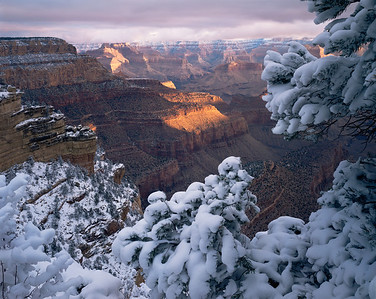Grand Canyon National Pk., AZ/South Rim, East Rim Drive. New snow on pinyon pines ( Pinus edulis) frames the canyon in morning light. 194h7