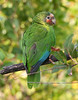 Red-throated or Cuban Parrot