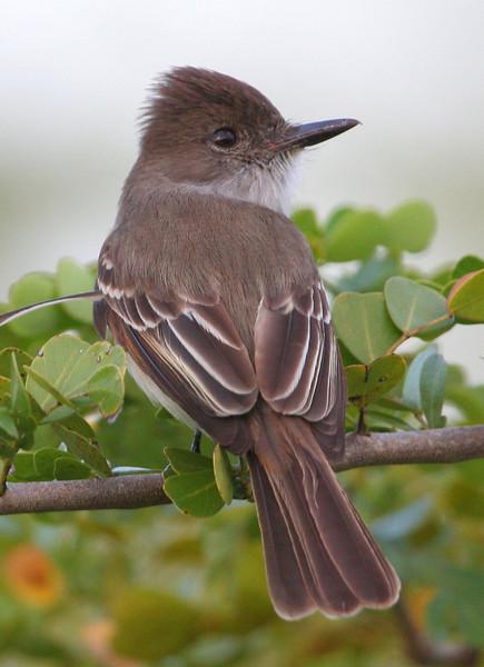 La Sagra's Flycatcher along the Mastic Trail