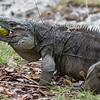The blue iguanas run to grab the fruit when it falls