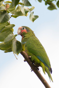 The Endemic Grand Cayman Parrot