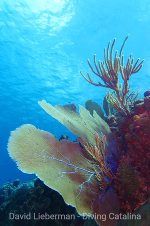 Common sea fan, Gorgonia flabellum