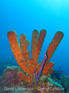 Brown tube sponge, Agelas conifera