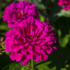 Maymont, late summer afternoon; zinnias by carriage barn