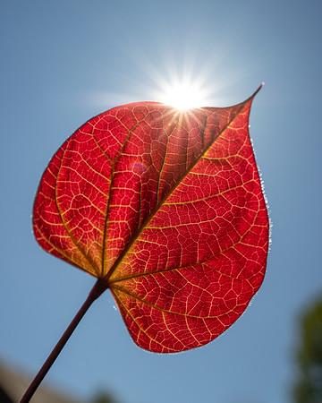 Back-lit Redbud Leaf