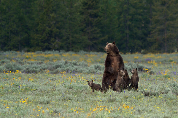 Grizzly Bear 399 and 4 cubs