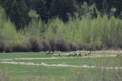 Elk in Wilson, WY