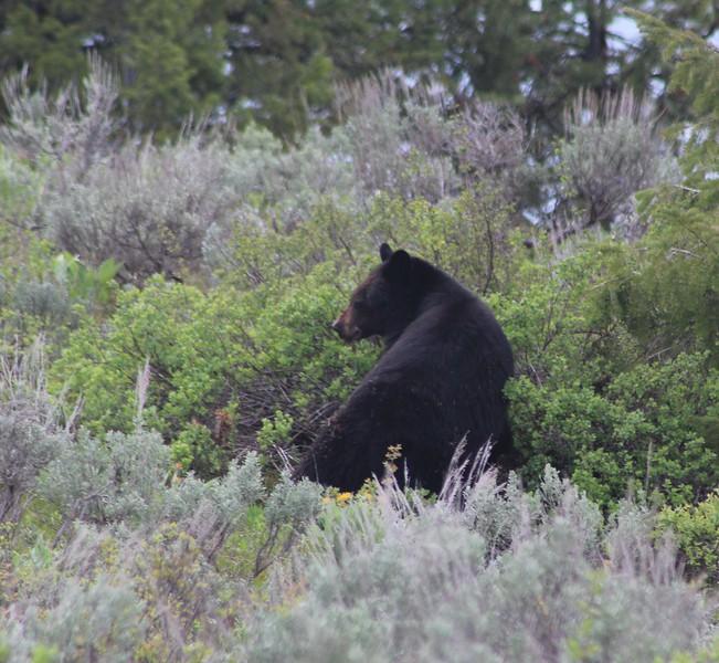 GTNP Black Bear