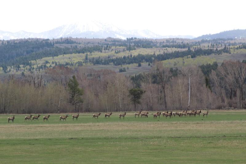 Elk Herd Buffalo Valley