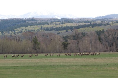 Elk Herd Buffalo Valley