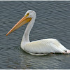 American White Pelican<br /> Snake River at Oxbow Bend