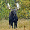 Bull Moose<br /> In meadow at Oxbow Bend