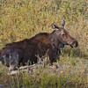 Cow  Moose<br /> Moose Junction