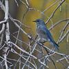 Mountain Bluebird<br /> Gros Ventre Campground