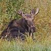 Bull  Moose<br /> Moose Junction