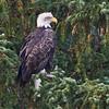 Bald Eagle<br /> Snake River