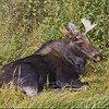 Bull  Moose <br /> Moose Junction
