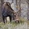 Cowl Moose<br /> Gros Ventre Campground