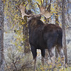 Bull Moose<br /> Gros Ventre Campground