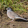 Pink-sided Dark-eyed Junco<br /> Oxbow Bend