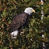 Bald Eagle <br /> Snake River