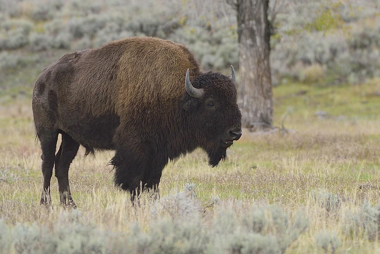 Bison #3