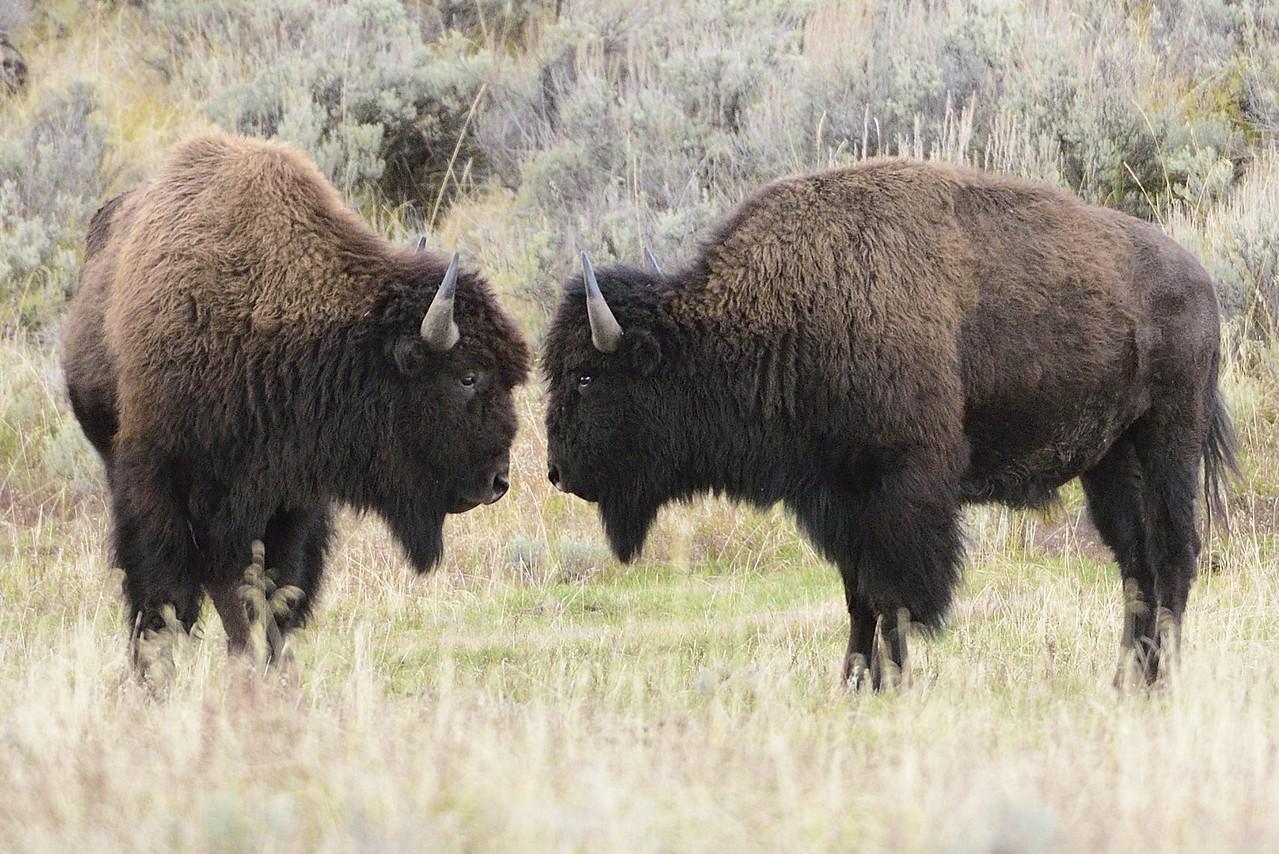 Bison face-off