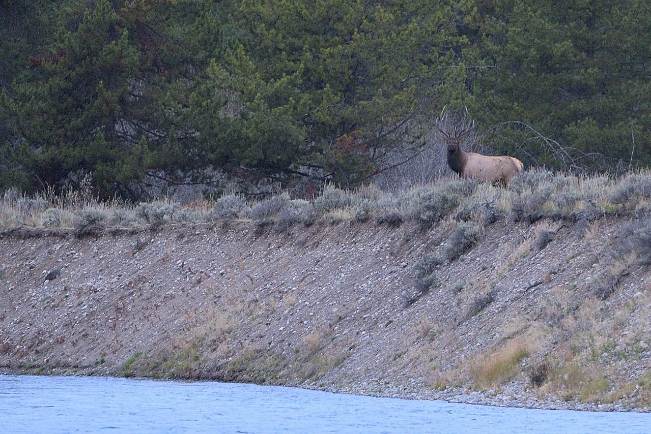 Bull Elk #2