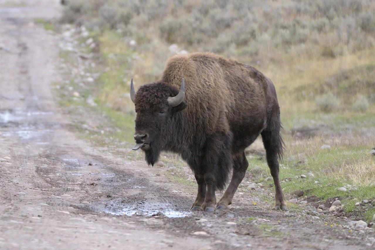 Bison attitude