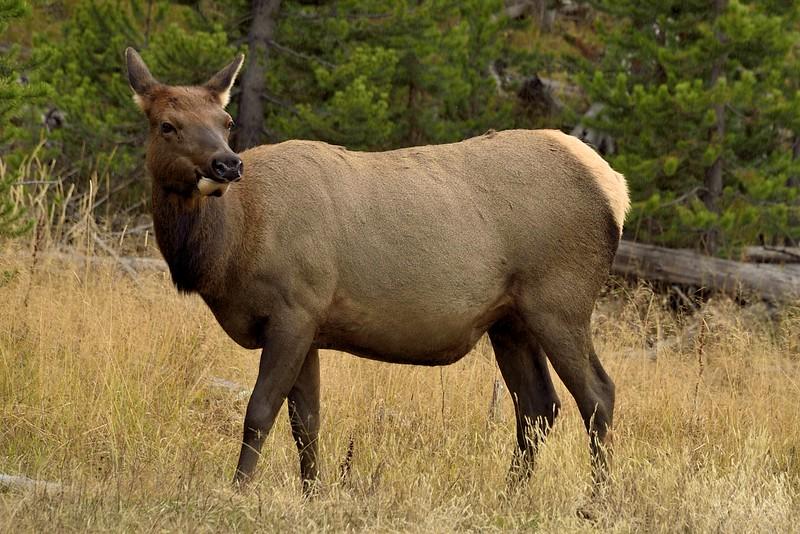 Elk (cow)