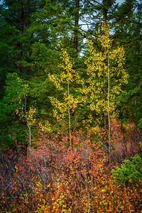 Aspens at Two Ocean Lake Yellowstone