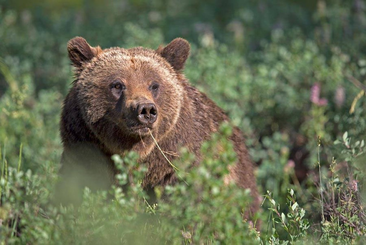 Grizzly 399 - 2014