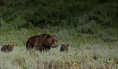 Grizzly 399 and 2 cubs of the year 2014