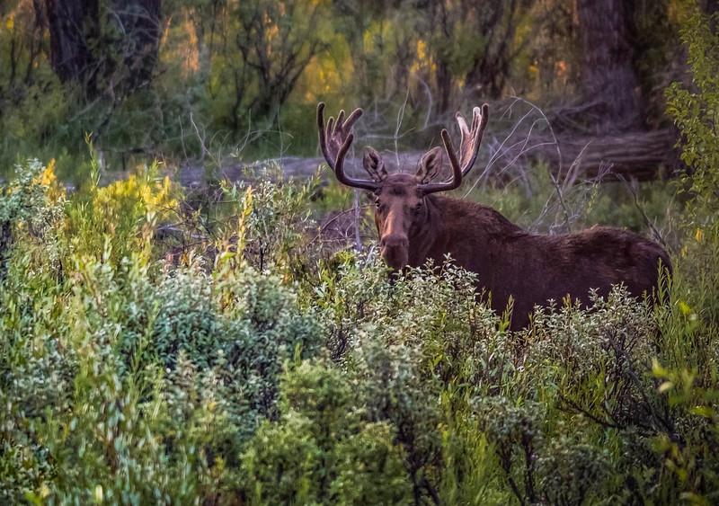 Moose in sage