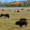 Herd of Bison grazing