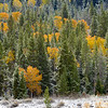 Snow on conifers with fall color #2