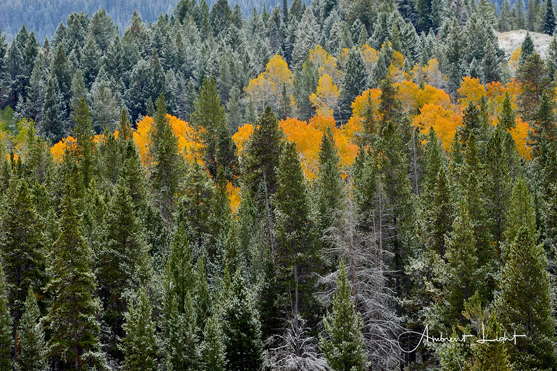 Snow on conifers with fall calor